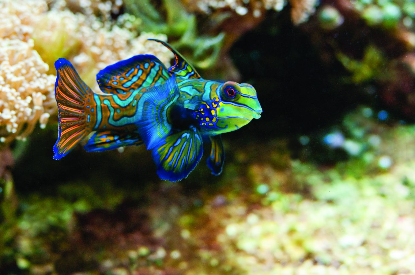 Mandarin fish swims through exhibit