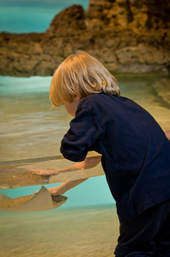 little boy touches ray in interactive touch tank
