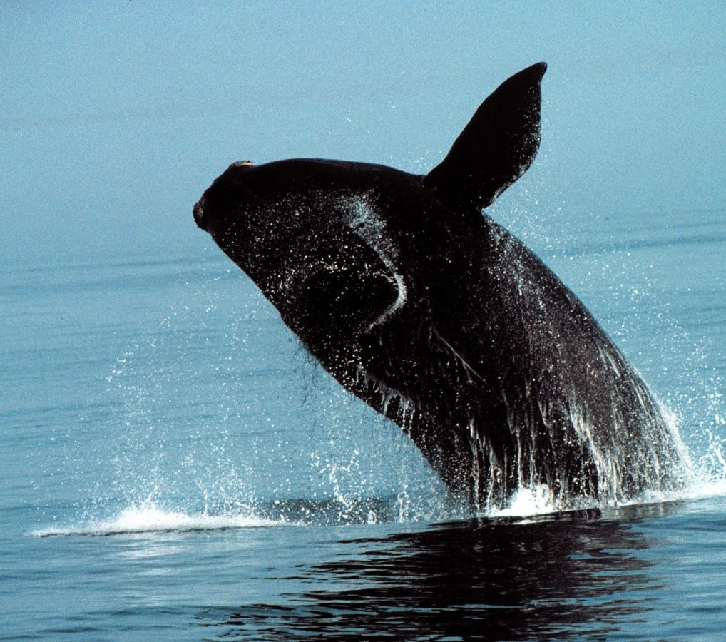 Breaching right whale