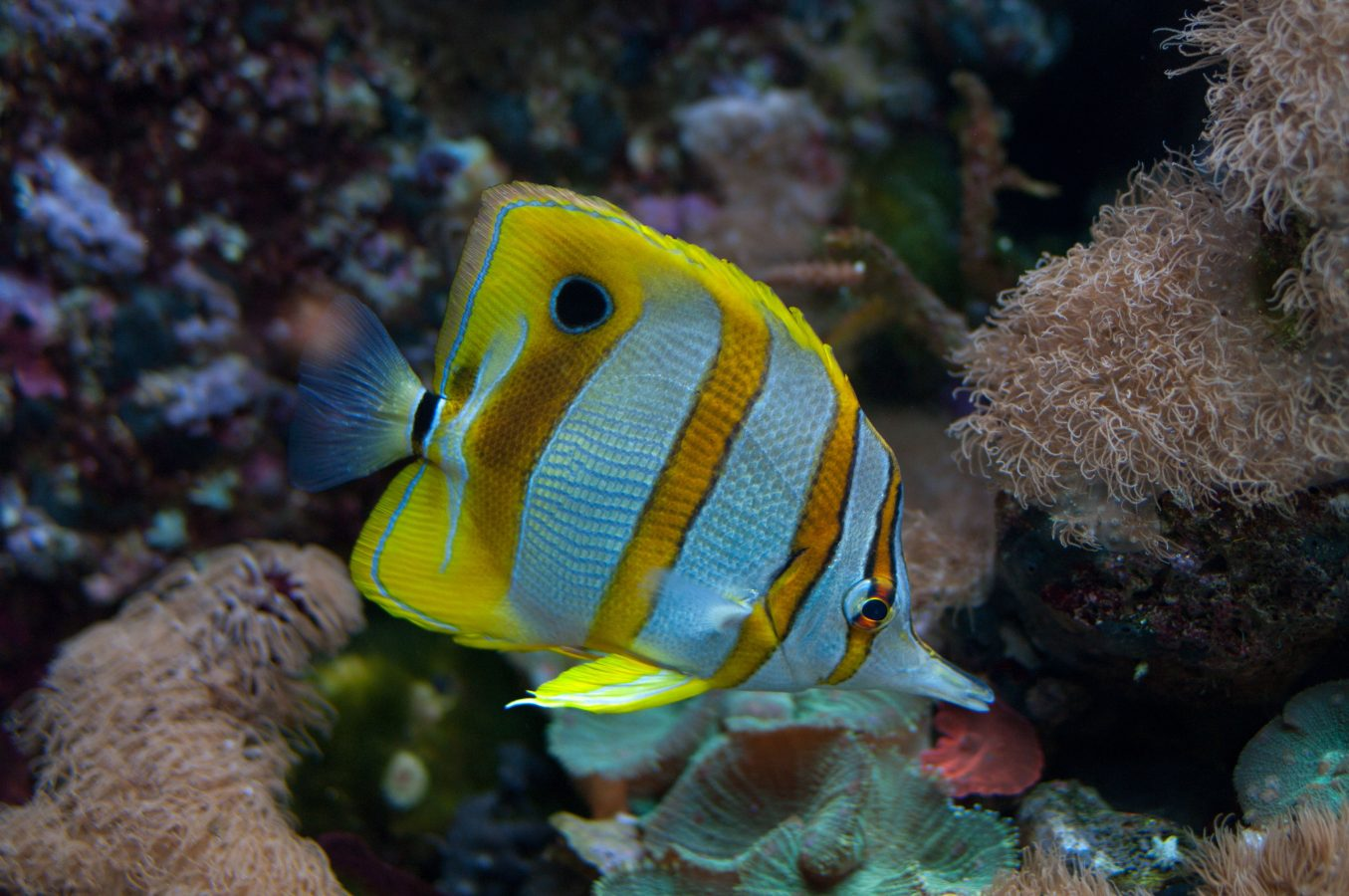 Butterfly fish swims through exhibit