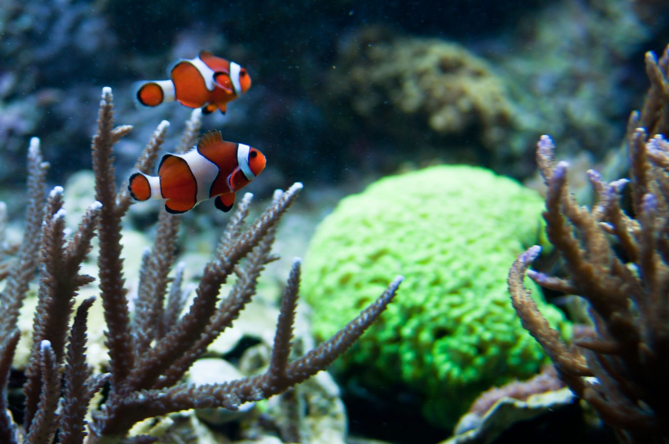 two clown fish swim through exhibit