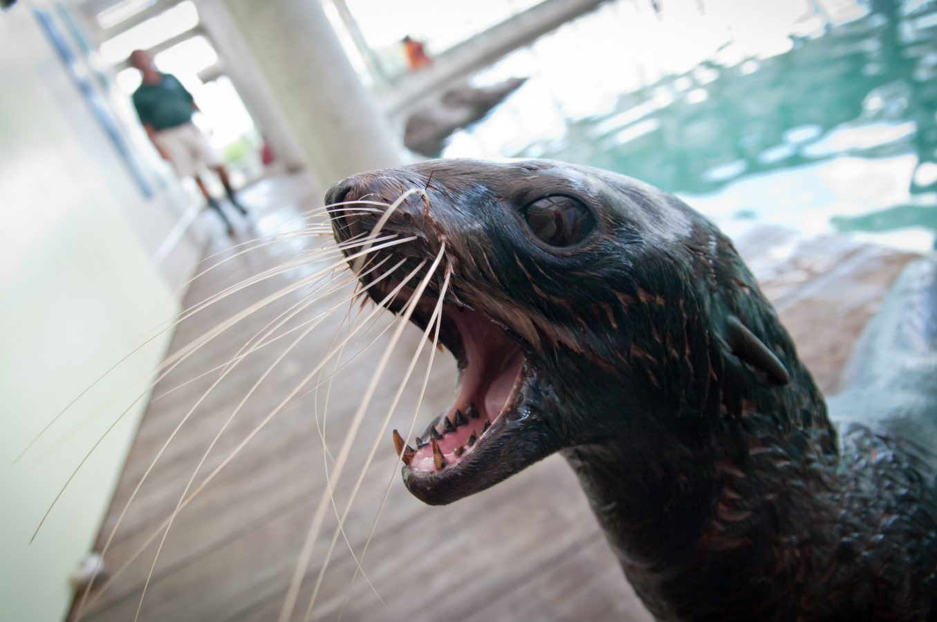 fur seal opens mouth in exhibit