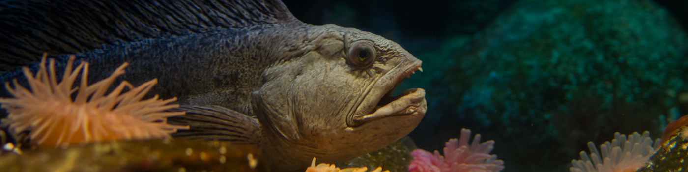 Wolffish movees through exhibit