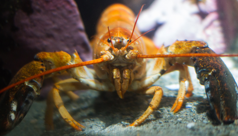 front view of a red lobster hanging out at the bottom of its tank
