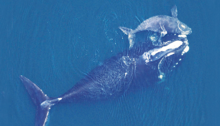 Bird's eyeview of mother whale and calf moving through ocean