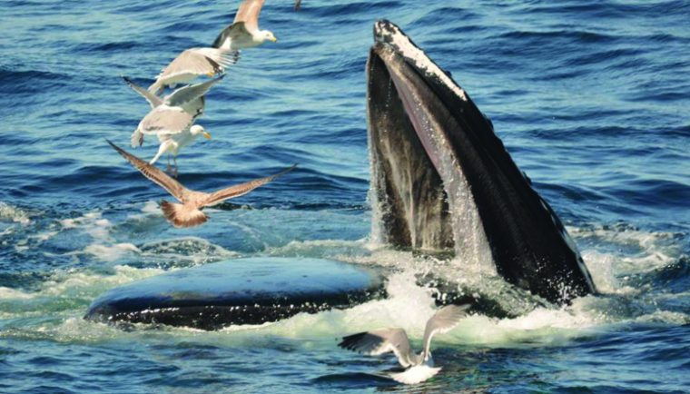 A whale takes gulp of food on a whale watch