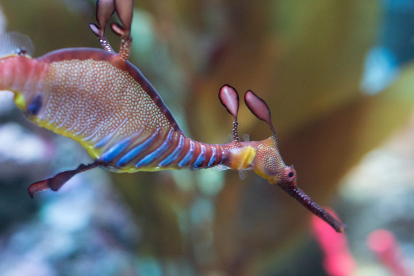 weedy seadragon swimming through its exhibit