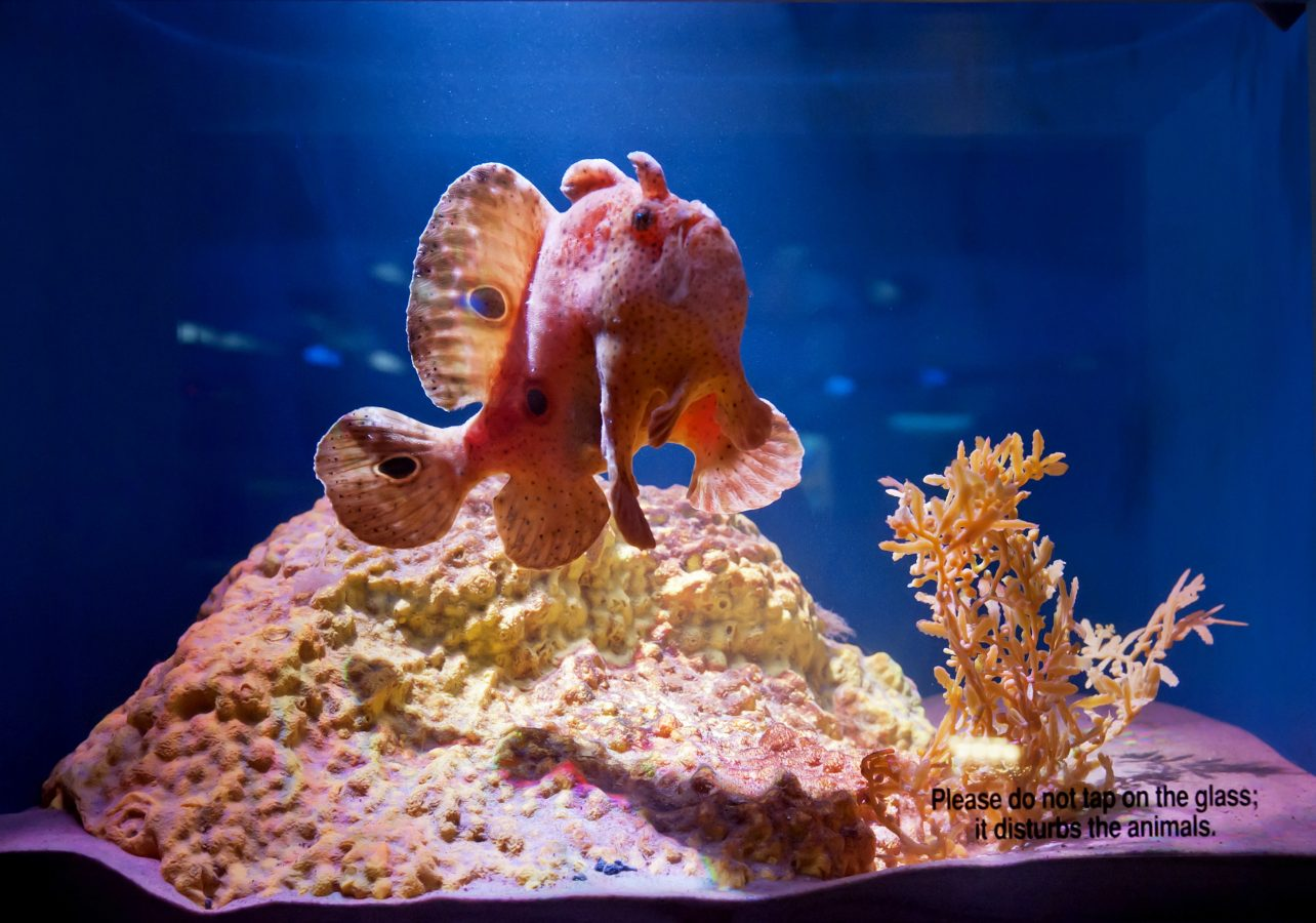 Frogfish swimming in its tank
