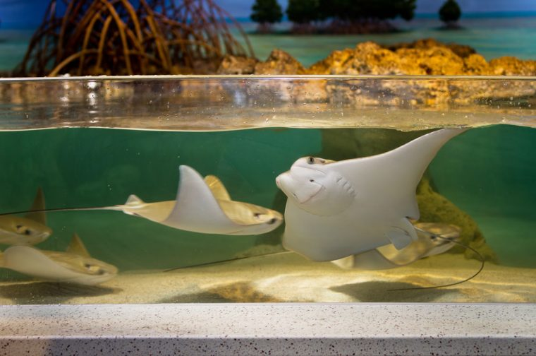 cownose rays in the touch tank