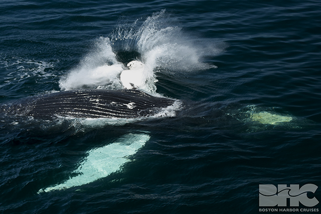 humpback whale splashing its flippers