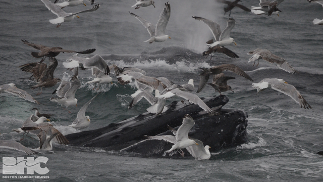 flock of gulls flapping around humpback whale's mouth