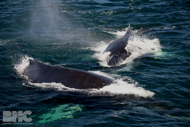 two humpback whales at surface