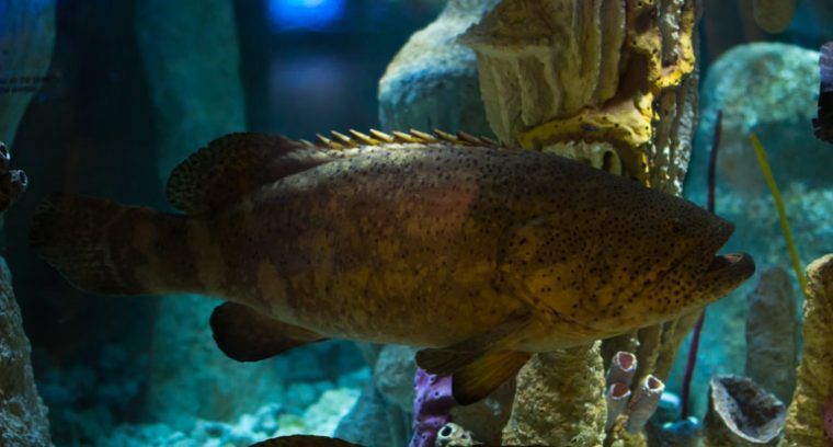 goliath grouper on exhibit