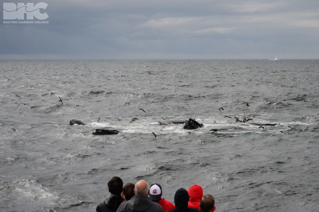 passengers watch humpbacks feeding on Stellwagen Bank