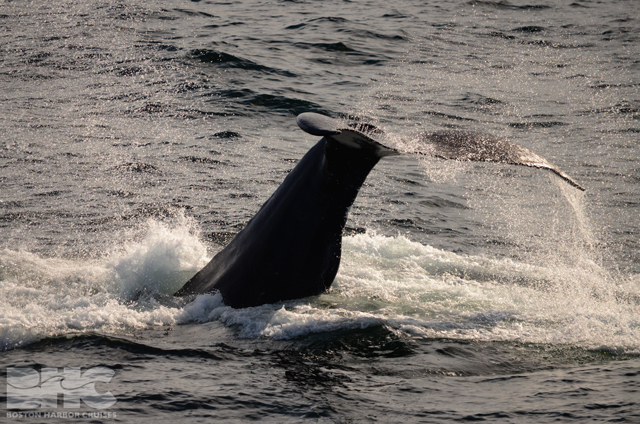 whale tale out of water during kick feeding