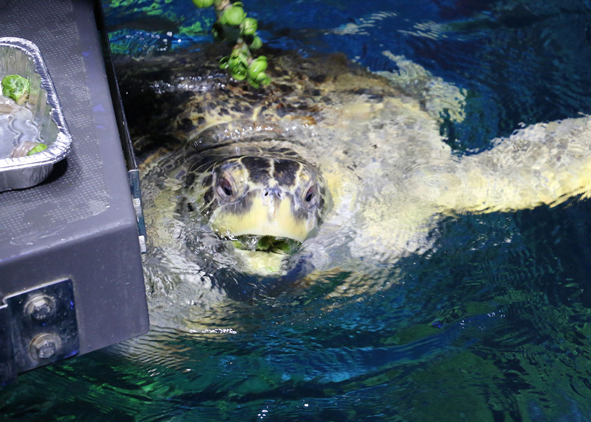 Myrtle the green sea turtle eating Brussels sprouts