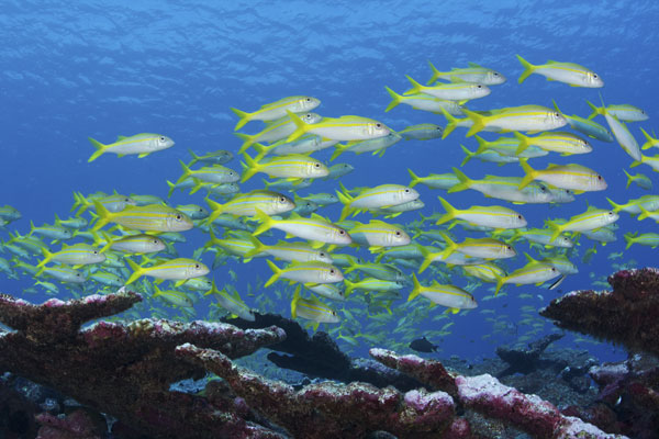 yellow fish school over reef in Phoenix Islands Protected Area
