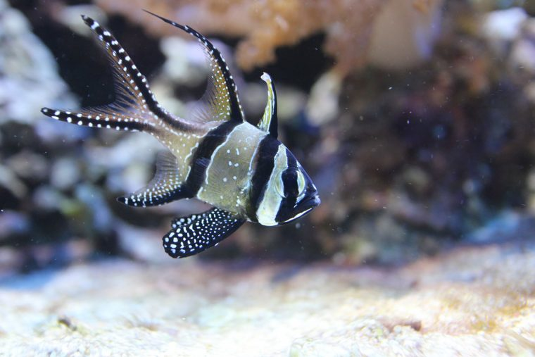 Banggai cardinalfish in the Living Coral exhibit