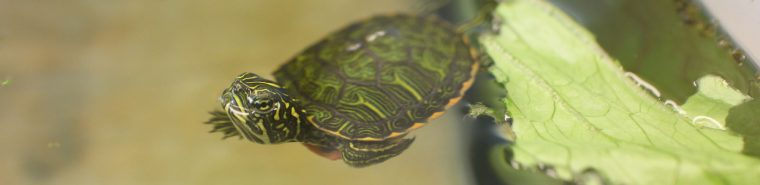 red-bellied cooter swimming with lettuce