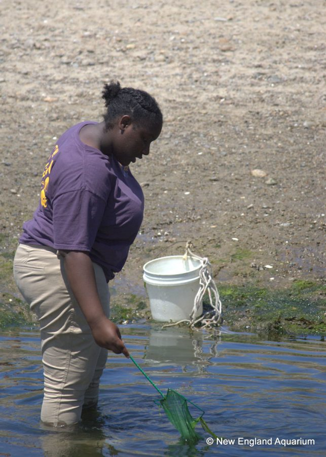 teen intern uses net to sift for marine life in shallow water at beach
