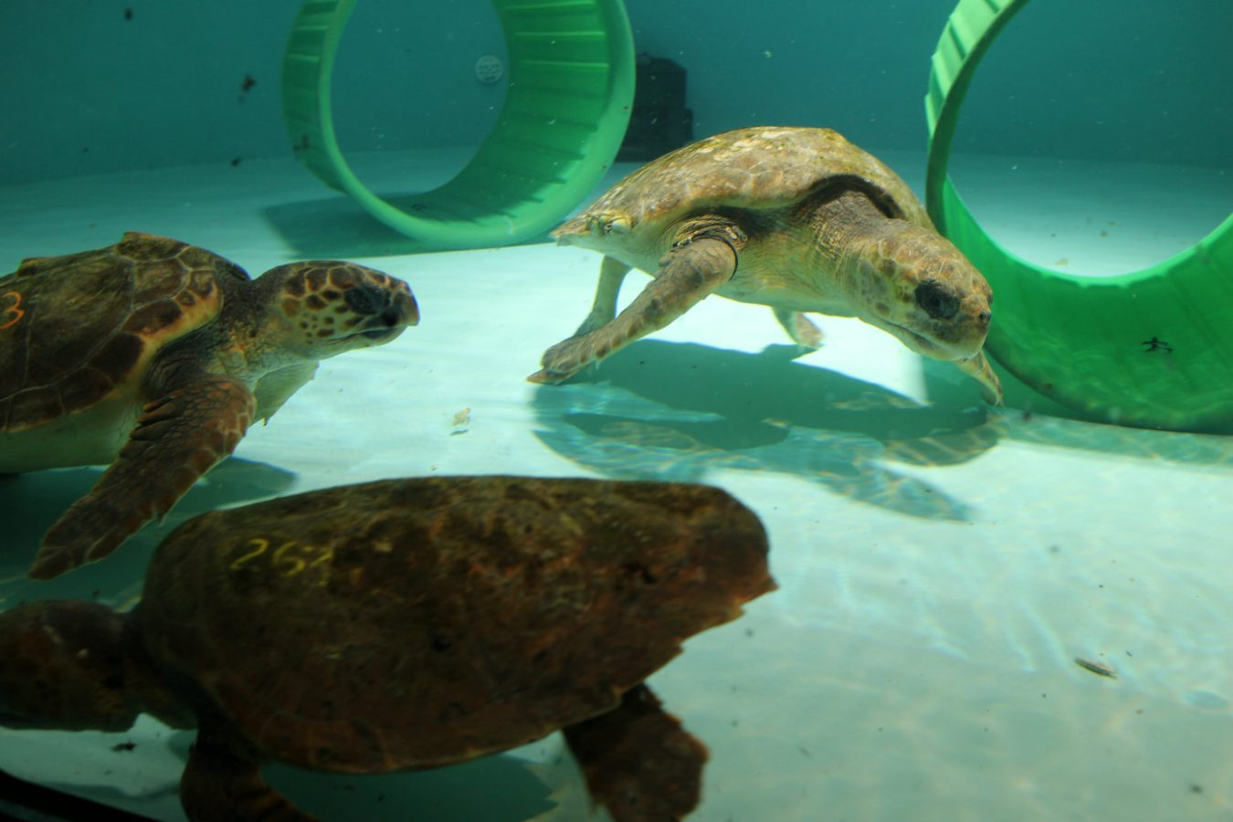 loggerhead sea turtles in rehab