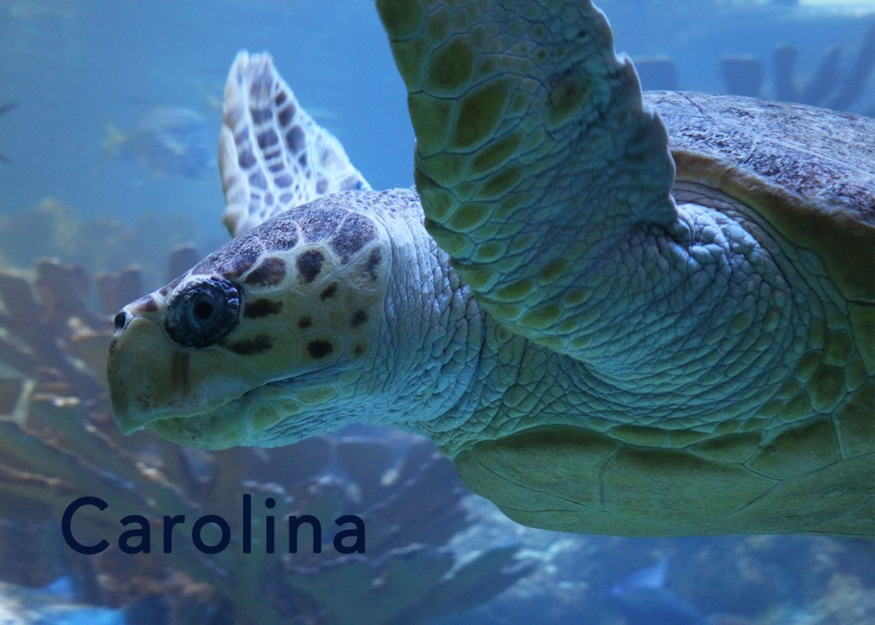 carolina the loggerhead sea turtle