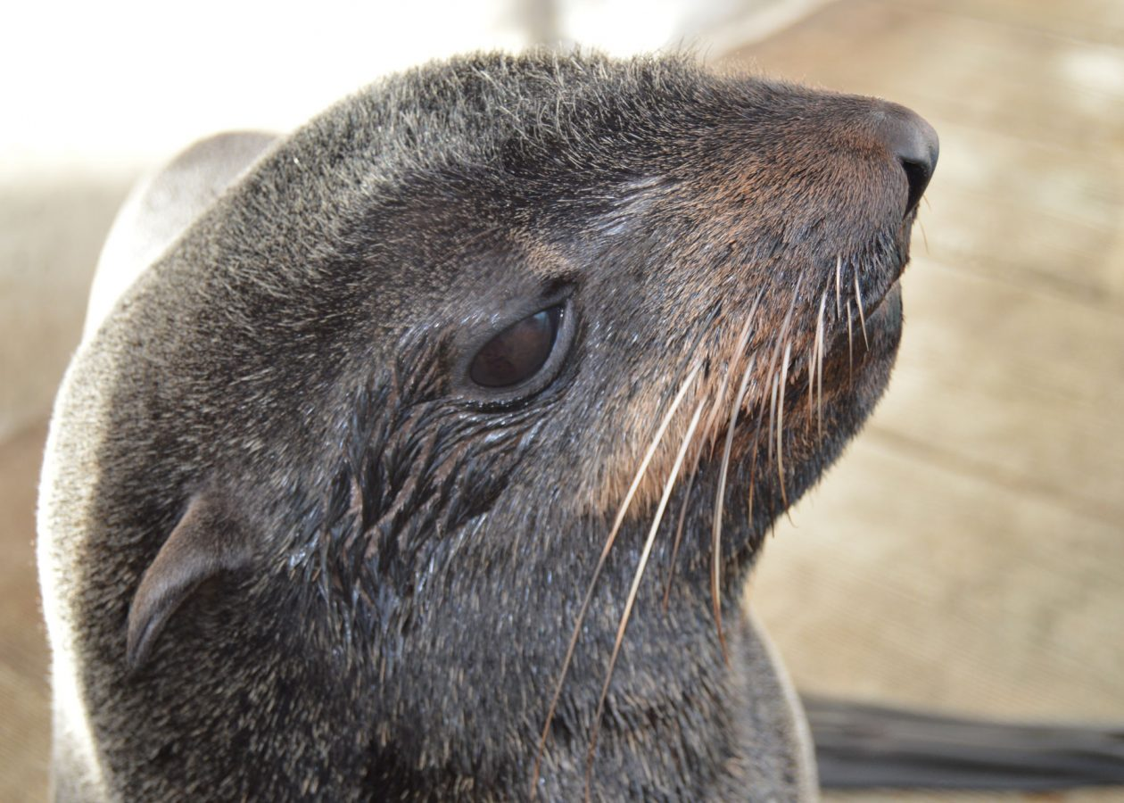 chiidax the northern fur seal