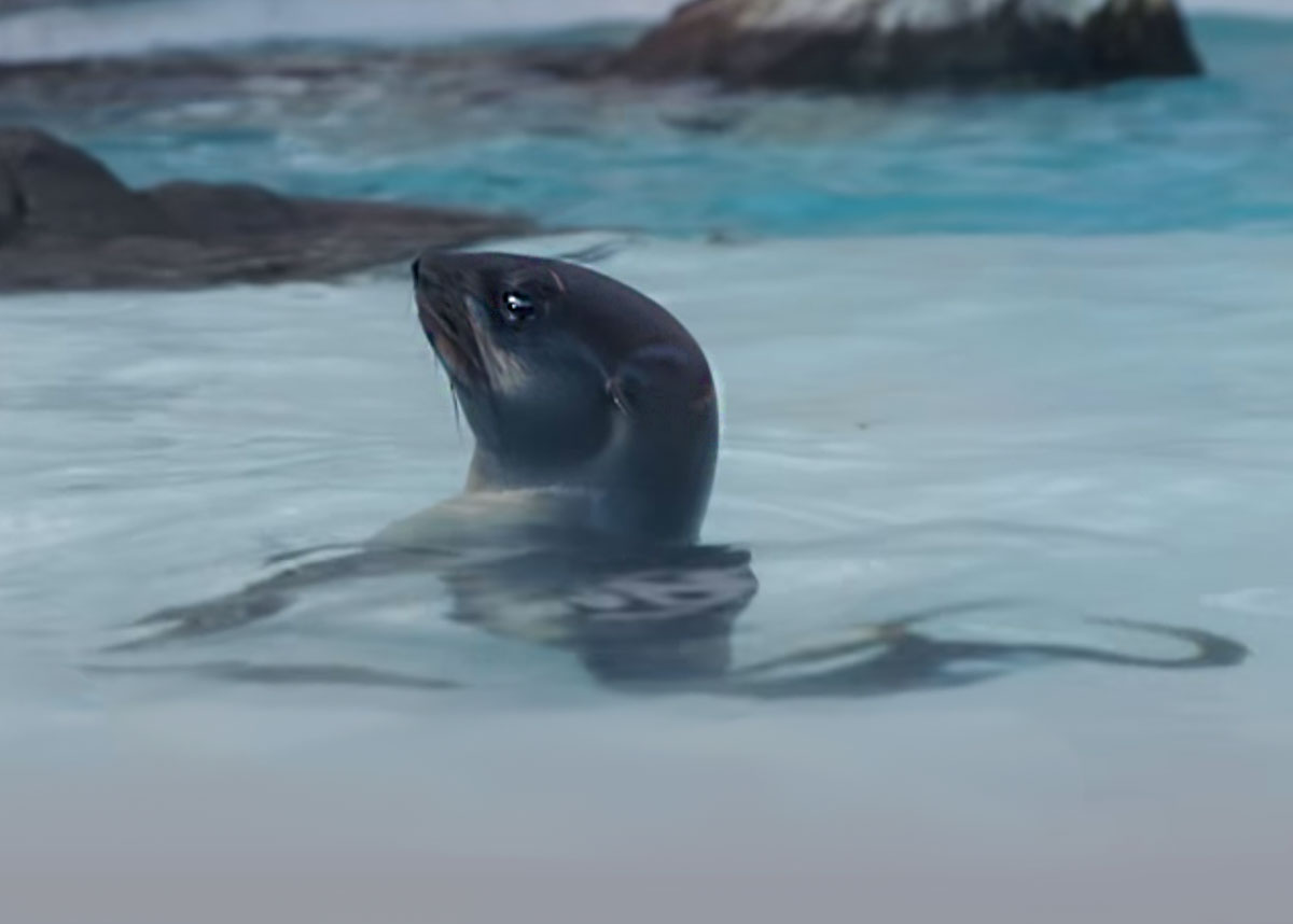 northern fur seal in water
