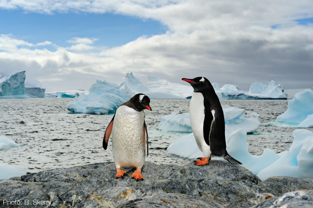 Brian Skerry image of two Adelie penguins
