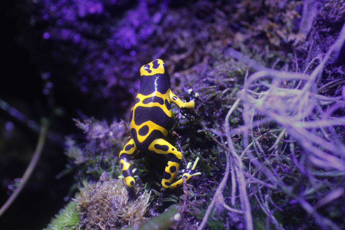 yellow and black poison dart frog