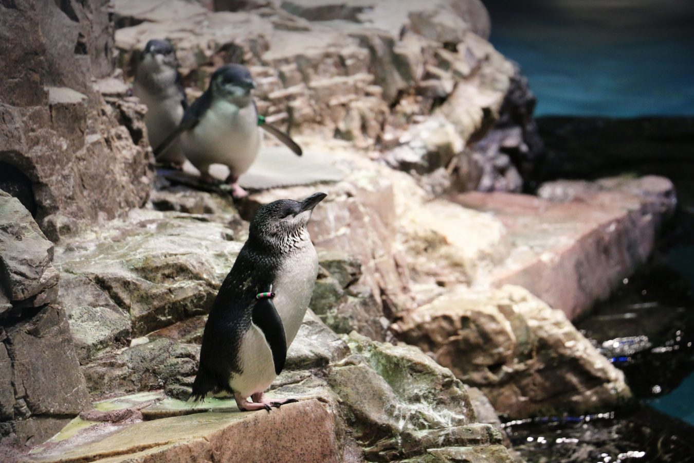 a little blue penguin in the Aquarium exhibit