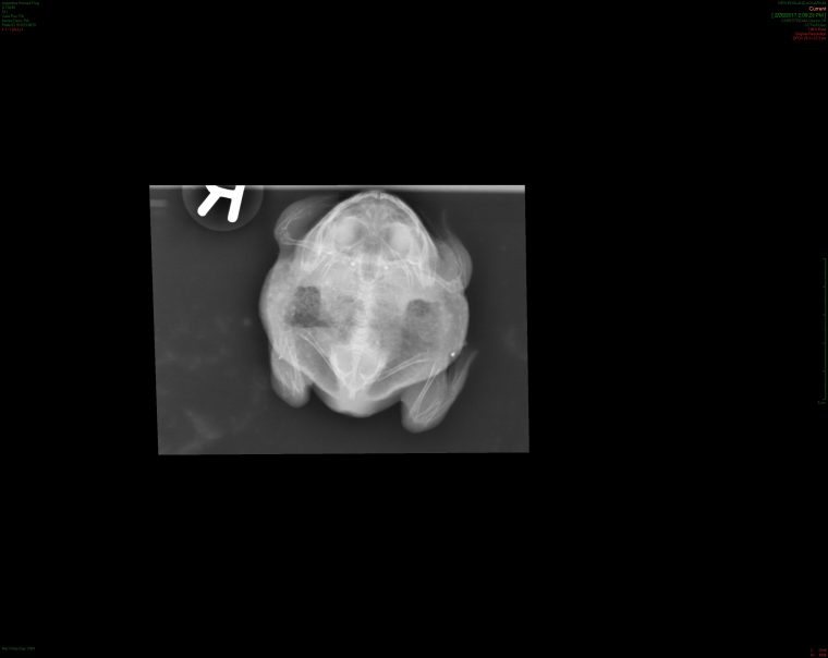x-ray of Argentine horned frog