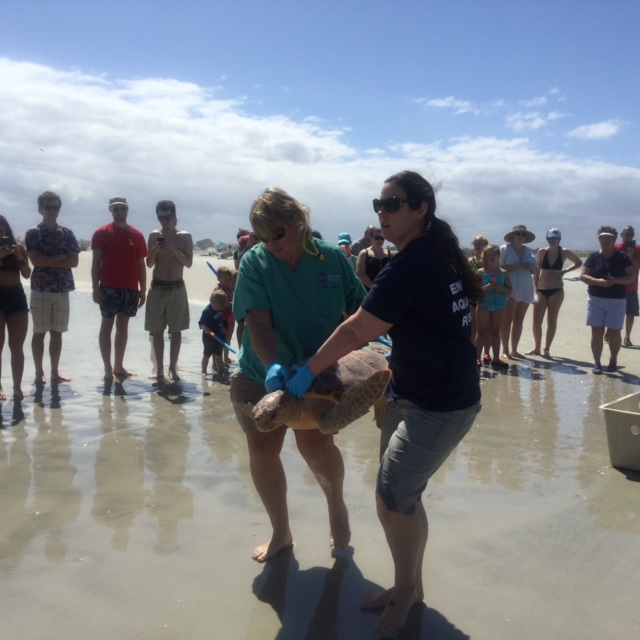 rescuers carry heavy loggerhead turtle
