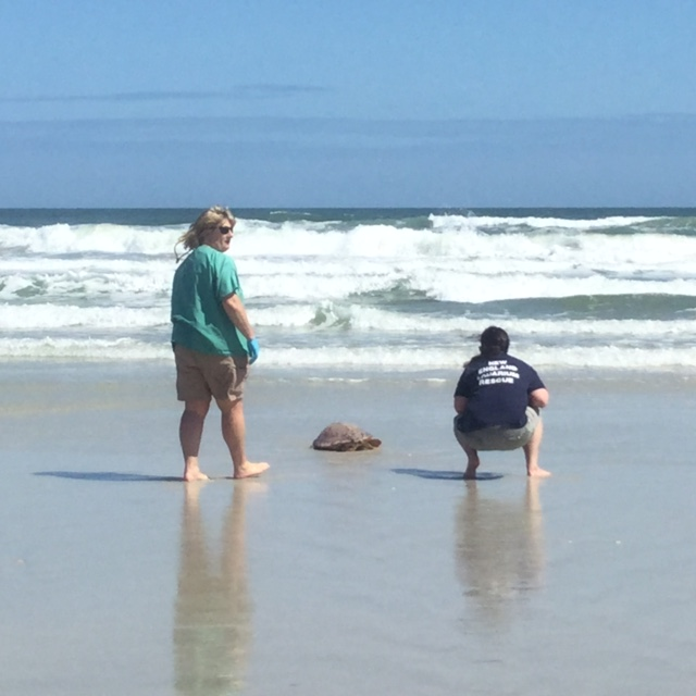 rescuers watch turtle crawl to surf