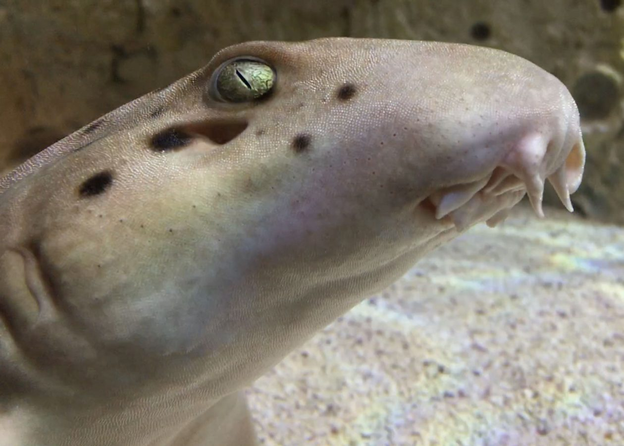 closeup face of adult epaulette shark