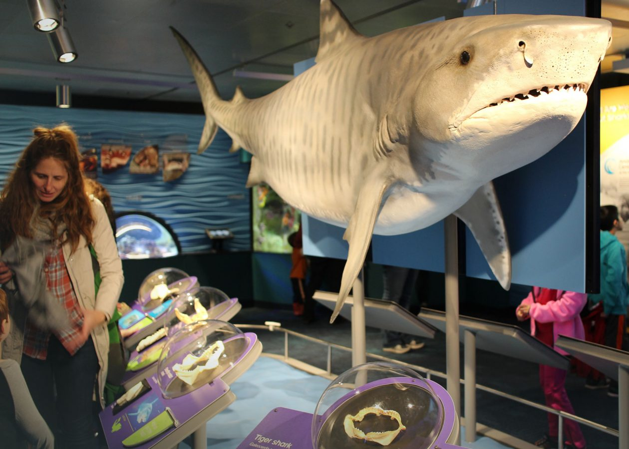 tiger shark model with family looking at teeth display