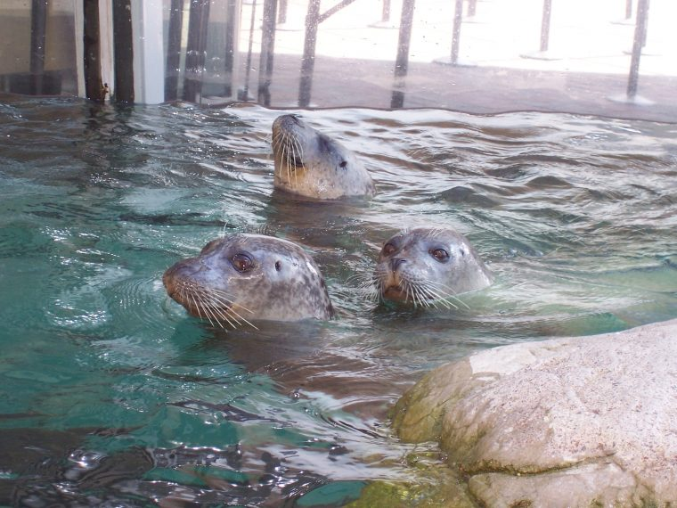 harbor seals swimming in exhibit