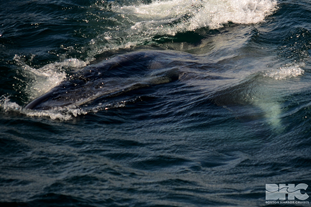 sei whale during open mouth lunge