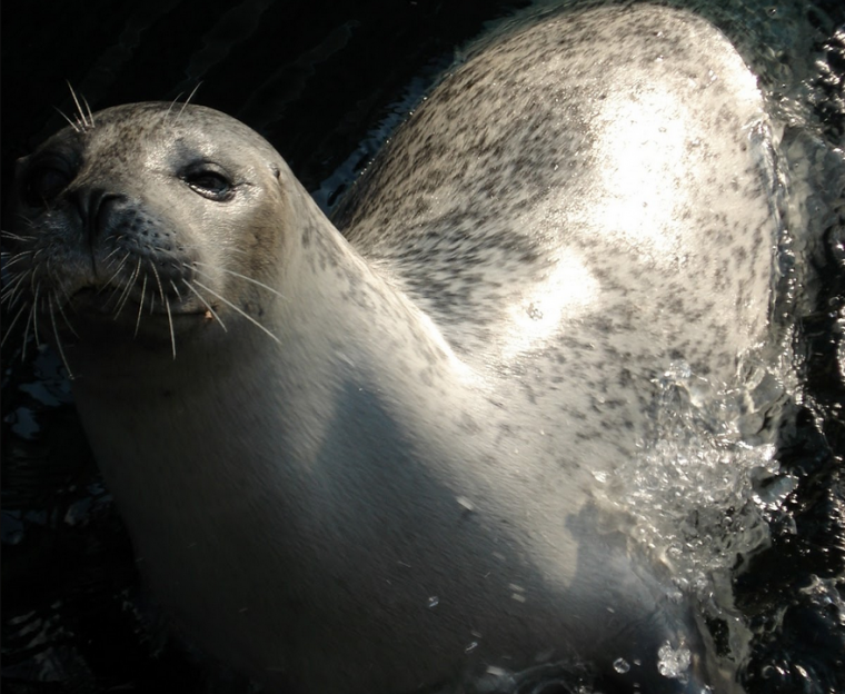Amelia the harbor seal