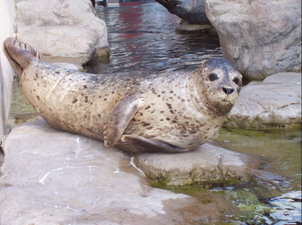 Chacoda the harbor seal