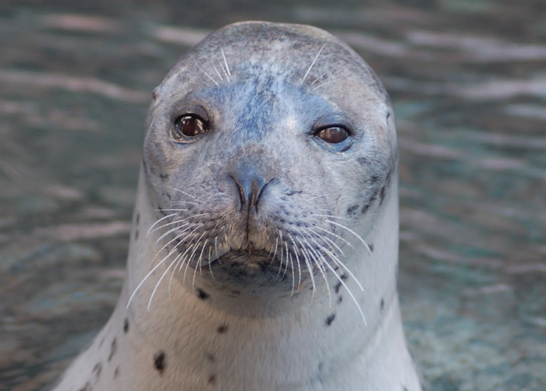Trumpet the harbor seal