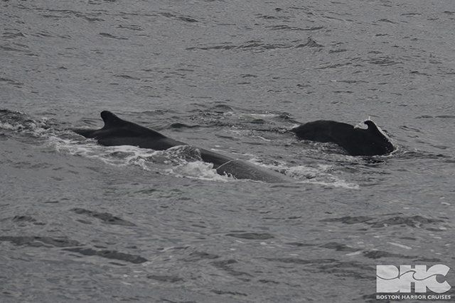 humpback mom and calf dorsal fins
