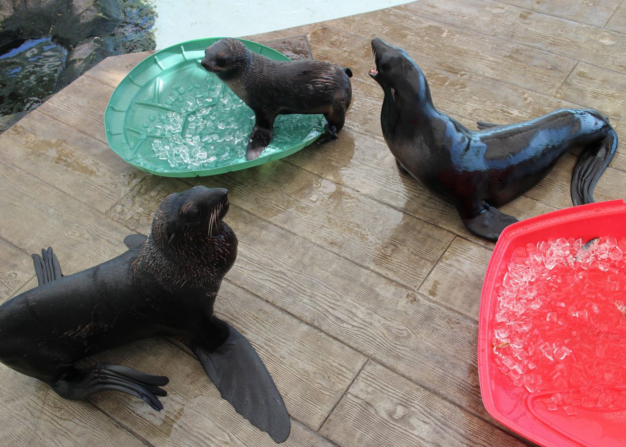 three fur seals play with ice