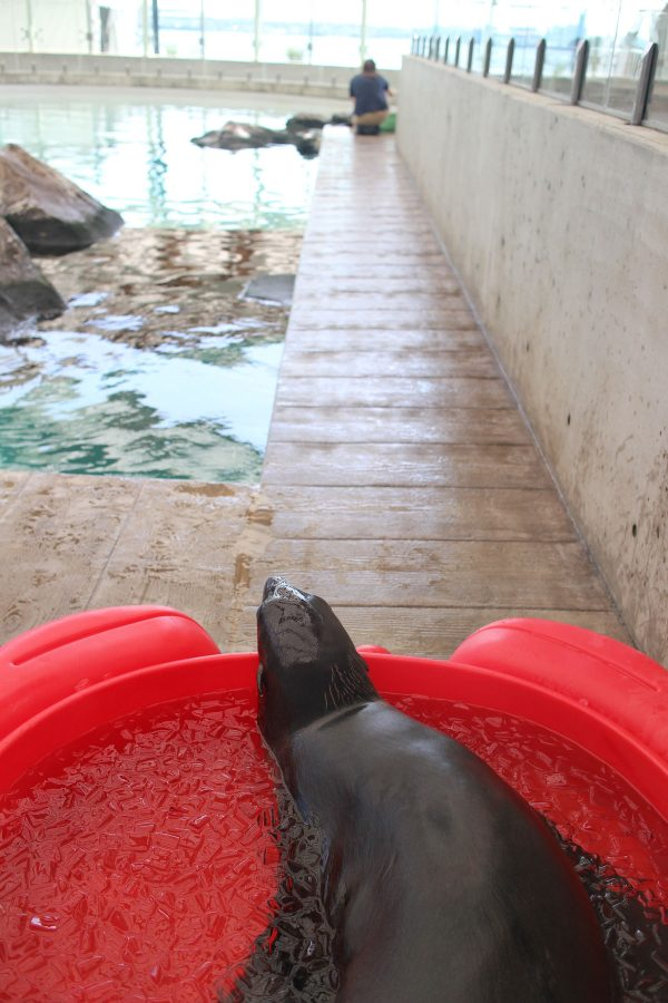 Ursula the fur seal sits in ice bath