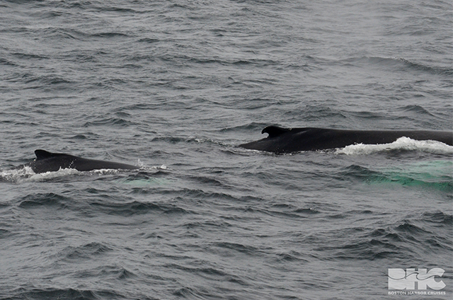 humpback whale bungee and calf