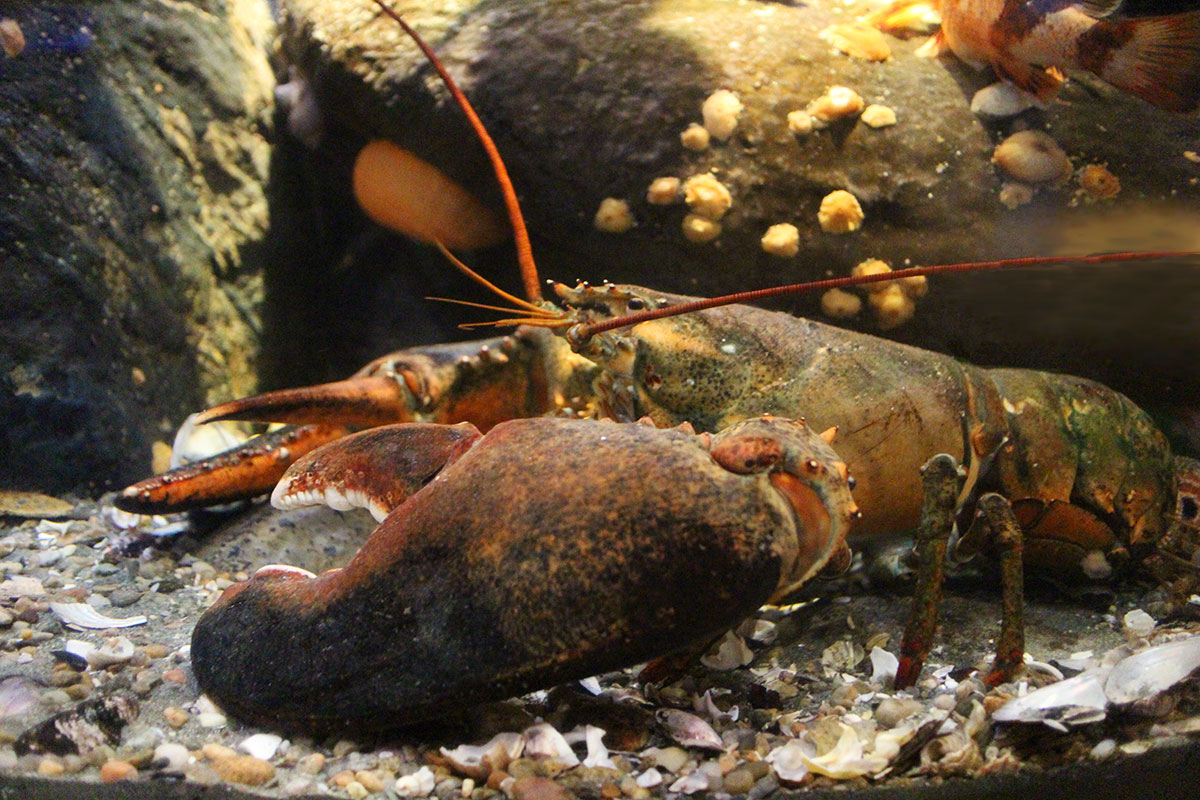 June 15 is National Lobster Day - New England Aquarium
