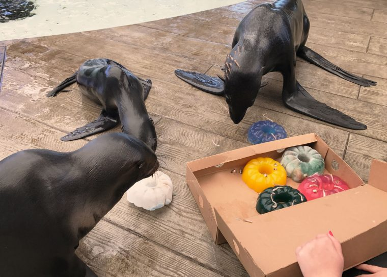 fur seals examine jello and ice donuts