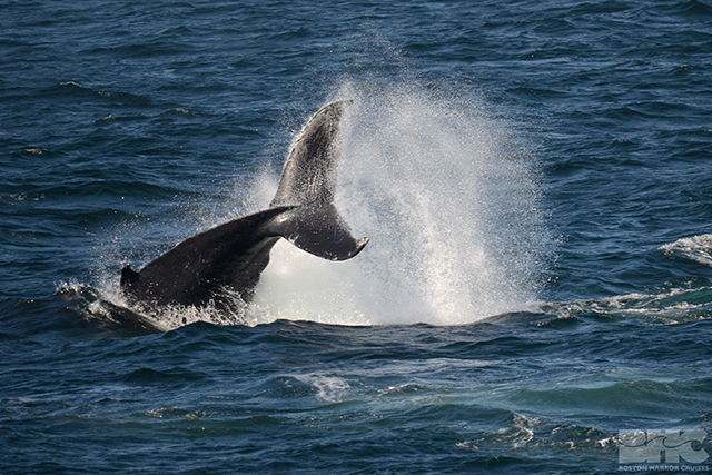 humpback whale calf tail breach