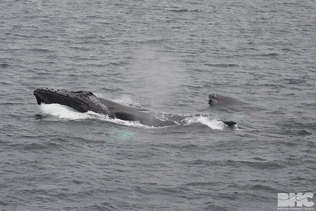 a humpback mom teaches calf to chin breach
