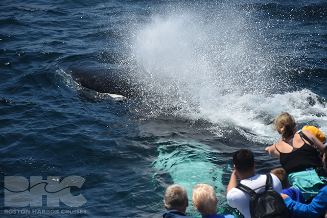 humpback surfacing with people on boat looking